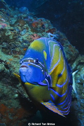 Blue-ringed Angelfish. Gulf of Thailand, Nikon D60, 55mm ... by Richard Ten Brinke 